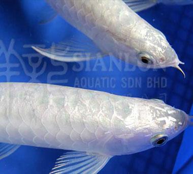 忻州哪个水族店卖细线银板到处跑了