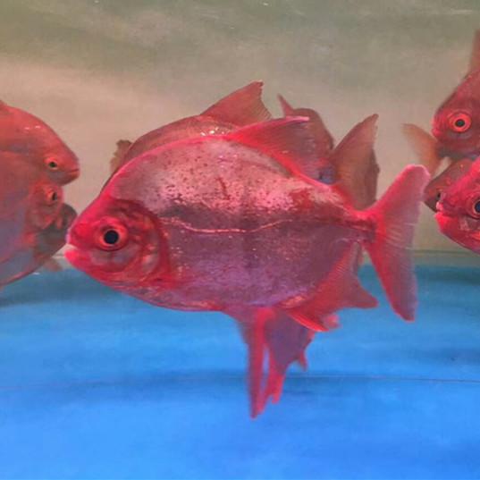 忻州玫瑰银版鱼